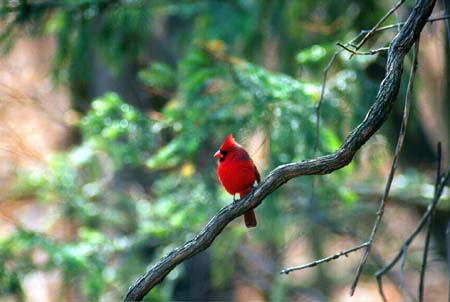 Cardinal bird, wellknown in Ohio
